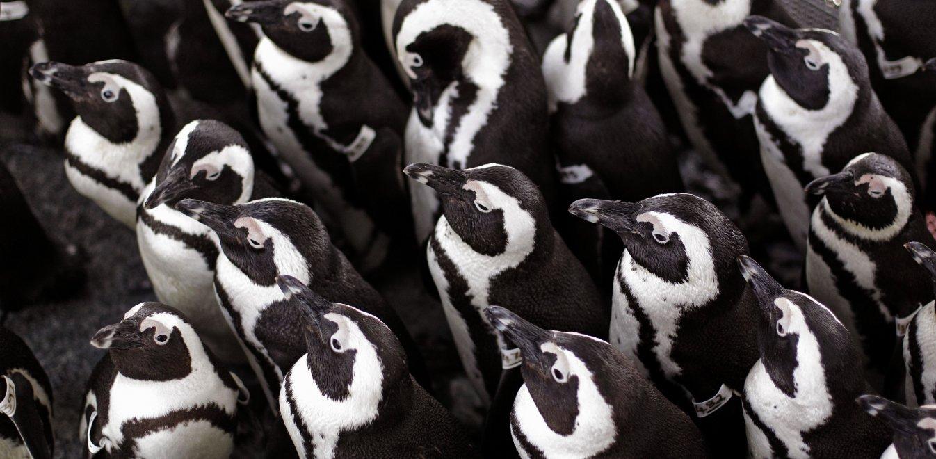 Μέλισσες τσίμπησαν μέχρι θανάτου 63 πιγκουίνους υπό εξαφάνιση στη Νότια Αφρική