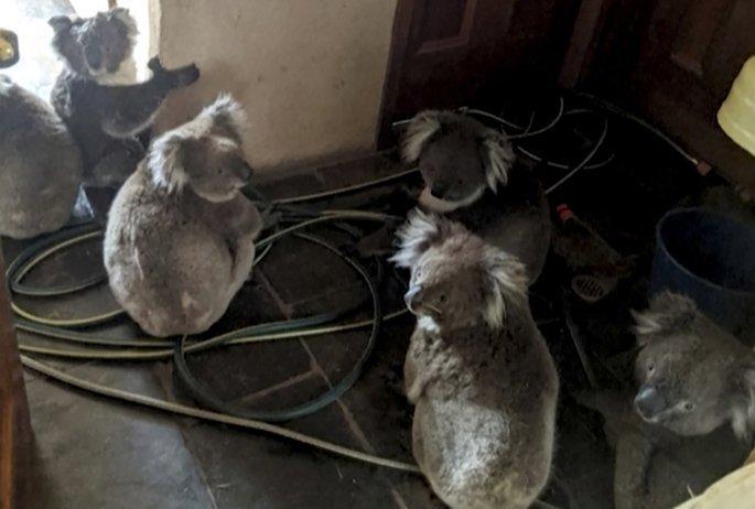Κοάλα σώθηκαν από τις φωτιές στην Αυστραλία