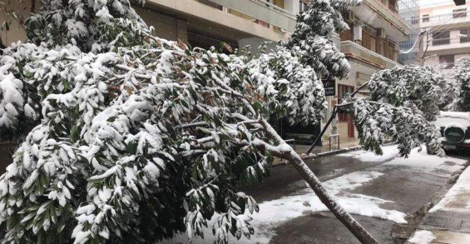 Η χιονόπτωση έφερε πτώσεις δέντρων στην πόλη της Λάρισας και μάλιστα στο κέντρο της.